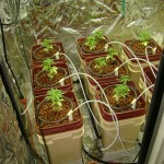 Hydroponic Marijuana Growth